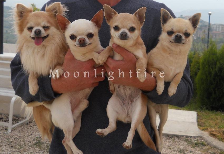Allevamento Chihuahua Moonlightfire Chihuahua Allevamento Per La